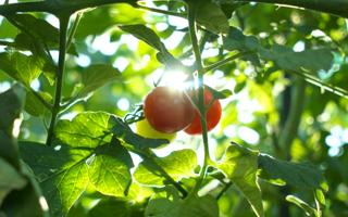 OT農園トマト